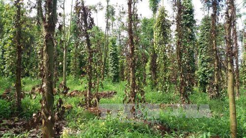 Continuous rains damage pepper plants in Quảng Trị