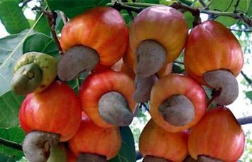 VN Cambodia to develop cashew farming area