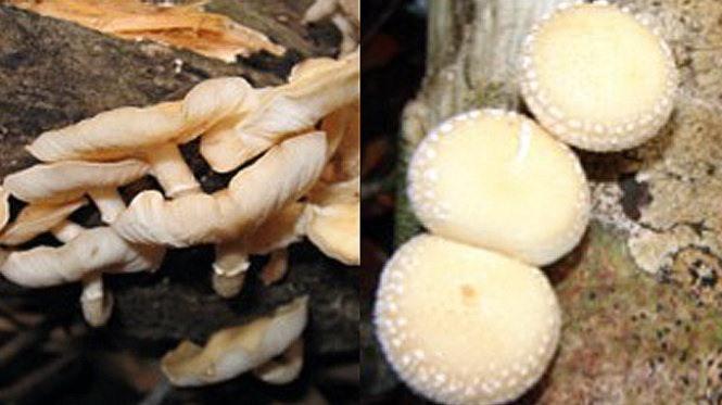 New shiitake mushroom species found in Việt Nam