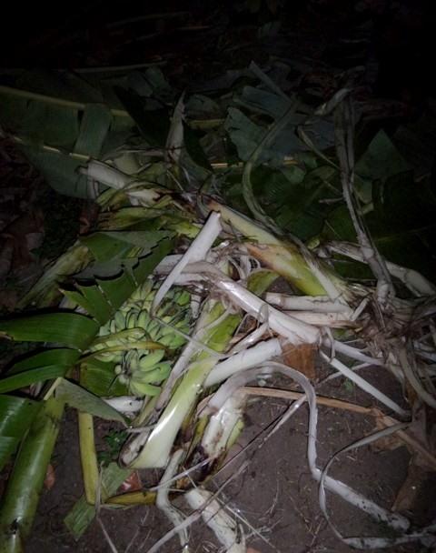Wild elephants destroy crops in Đắk Lắk