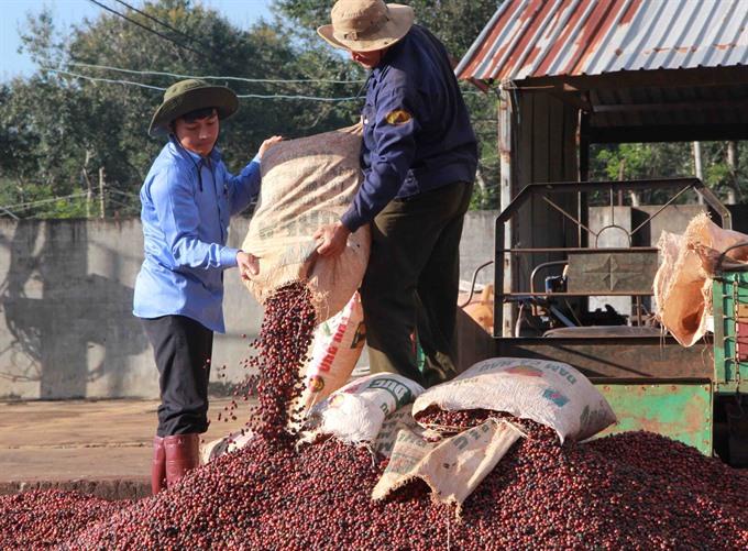 Đắk Nông increases aid to coffee farmers
