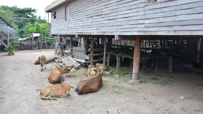 450 cows contract foot-and-mouth disease in Gia Lai