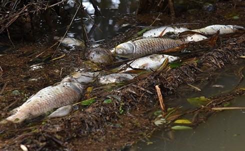 Fish die en mass in Quảng Ngãi