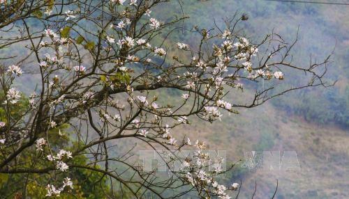 Điện Biên celebrates Ban Flower Festival