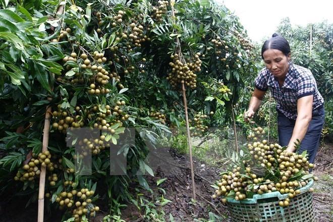 Việt Nam to export longans to Australia