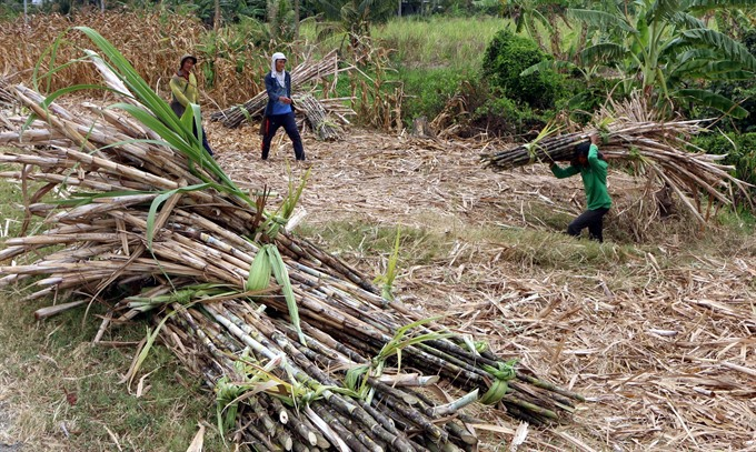 Sugarcane prices a bitter pill in Delta
