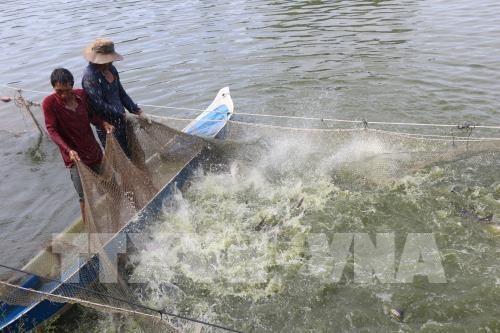 Shark catfish farming booming