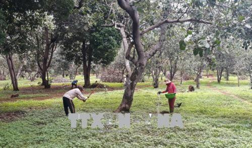 Bình Phước warns farmers not to grow uncertified cashew varieties