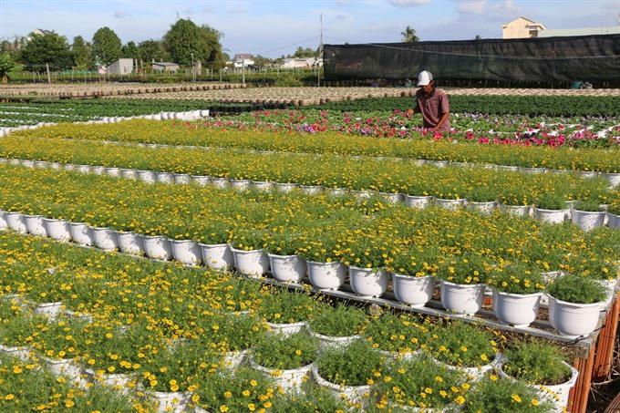 Ornamental flower farmers gain different crops this Tết