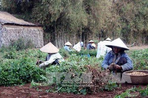 Trà Vinh expands organic peanut farms