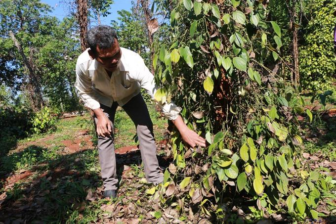 Bình Phước enters pepper harvest season plagued by labour shortage