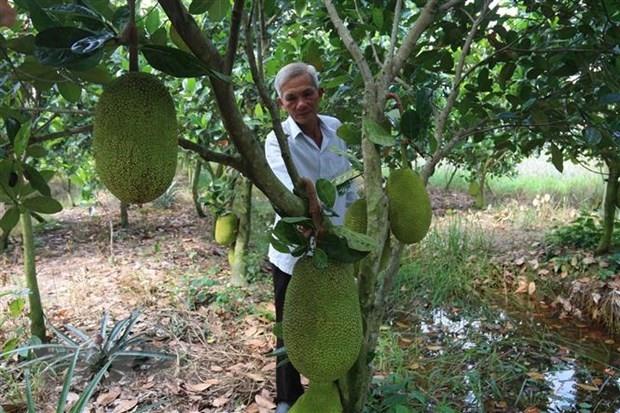 Mekong Delta farmers rush to plant Thai jackfruit despite risks