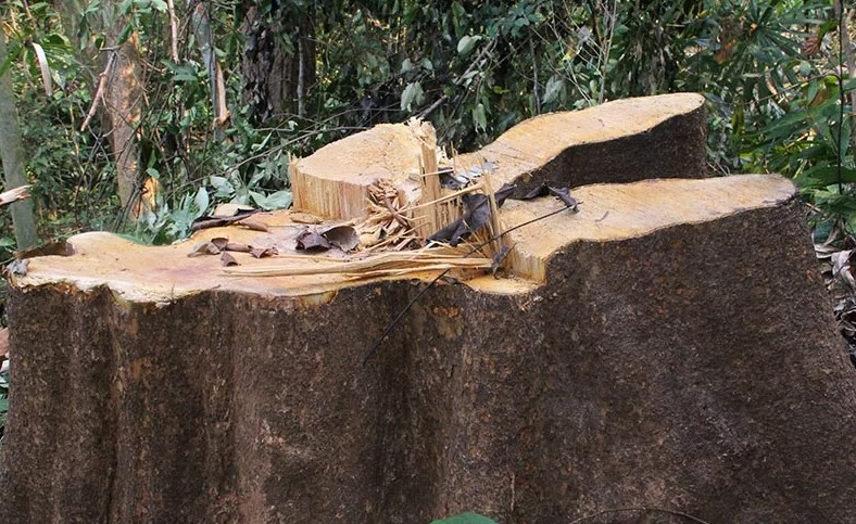 Illegal logging threatening protected forest