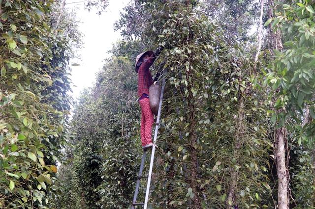 Cajuput tree trellises used to grow pepper