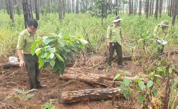 Lâm Đồng police discover pine forest destruction