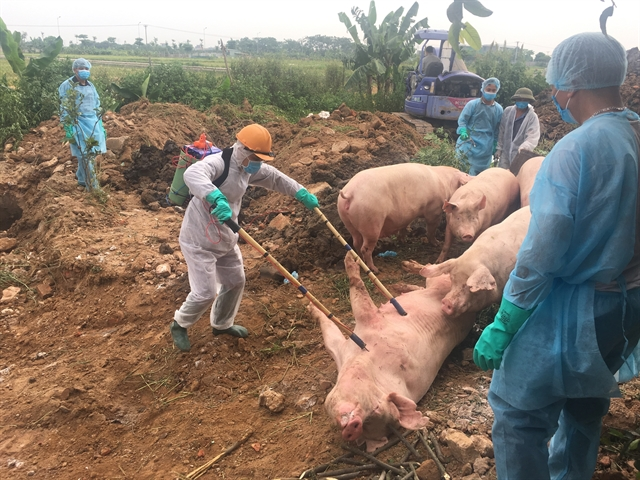 African swine fever still a problem for local farms