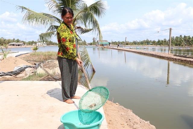 Bến Tre Province giant river prawn farms hit by saltwater intrusion