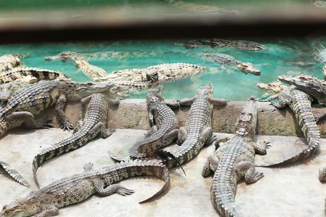 HCM City crocodile farming in a deep slump
