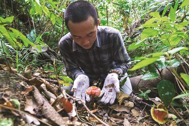 Sustainable farmingboostsQuảng Nams magic mushrooms