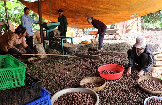 Turning Việt Nams macadamias into an efficient and sustainable industry