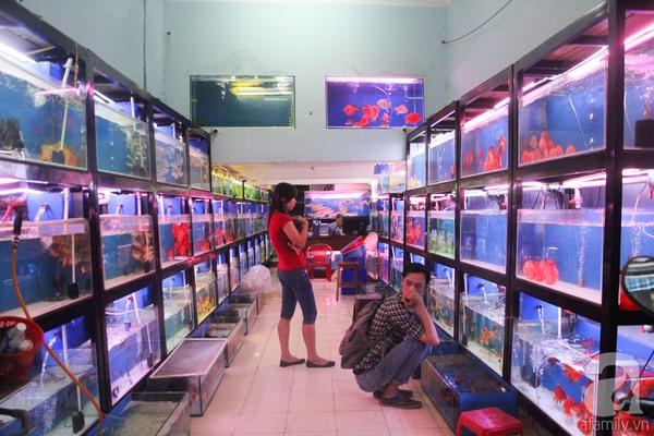 Ornamental fish breeders should scale up: experts