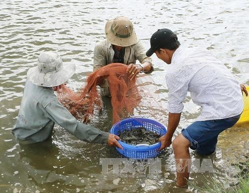 Giant river prawns recover after long decline