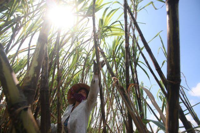 Sugarcane no longer sweet for Mekong Deltas largest producer