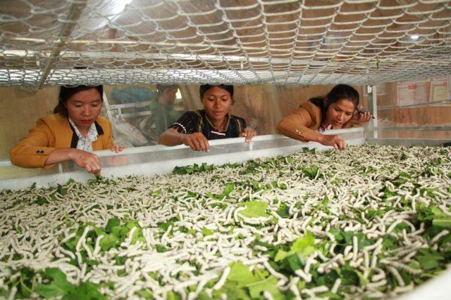 Lâm Đồng sericulture farmers find livelihoods steady