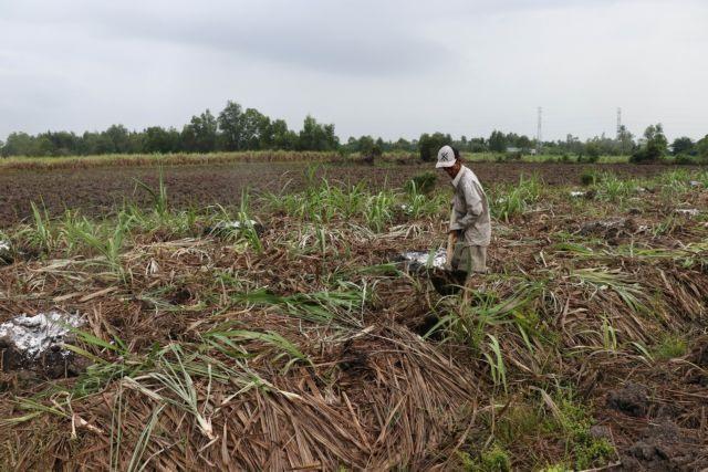 Mekong Delta sugarcane farmers switch en masse to other crops