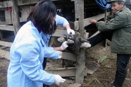 Two vets check a buffalo for foot-and-mouth disease in Lang Son Province's Gia Loc Commune.