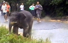 Quảng Nam to protect elephants