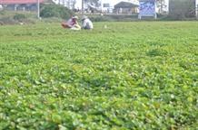 Gotu Kola plant earns Huế farmers a decent life