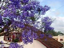 Violet flamboyant flowers turn Đà Lạt purple