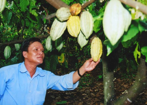 Farms to grow cocoa with cashew trees
