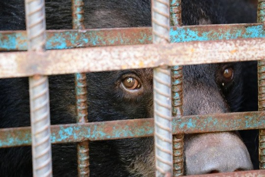 Four Asian black bears rescued in Gia Lai