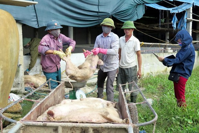 Hà Tĩnh to get vaccines to prevent pig disease