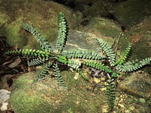 Fern species found in Quảng Bình karst cave