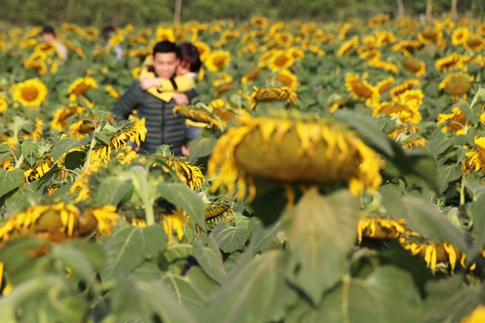 Youth couples basked in sun flowers selfies