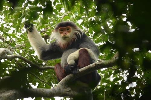Know your langur campaign in Da Nang
