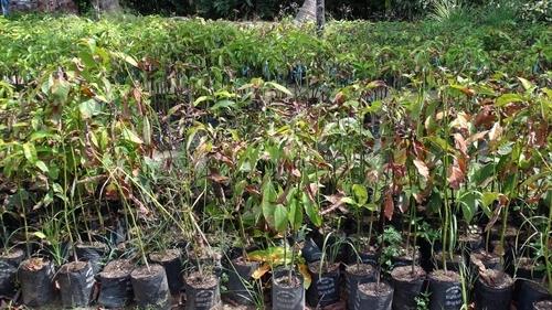 Fruit sapling prices rise yield falls