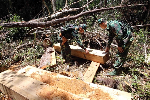 Police probe pơ mu wood thefts