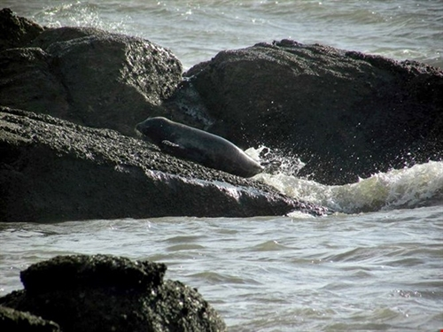 Seals spotted in Bình Thuận Sea