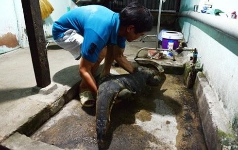 Lost and found pregnant varan now residing at Sài Gòn Zoo