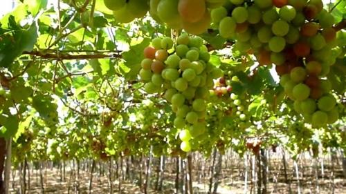 Ninh Thuận prepares for 2016 wine festival