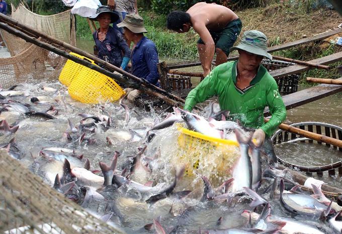 Tra fish exports could be hurt by false news: VASEP