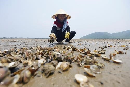Polluted water causes mass clam deaths in Thanh Hóa