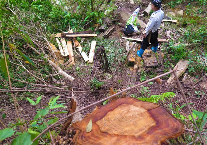 Rare trees in Yên Bái Province almost wiped out