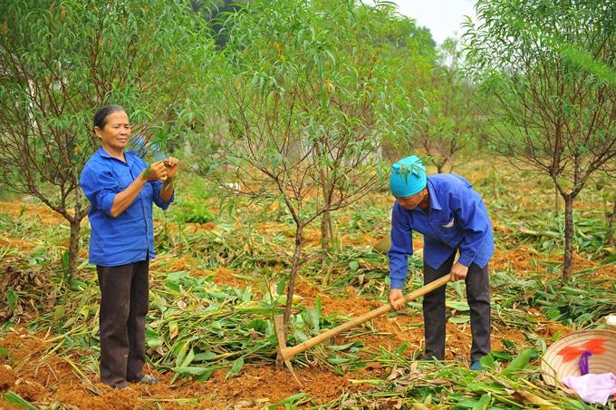 Typhoon trashes Tet trees