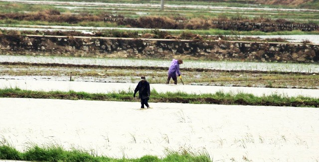 Heavy rains submerge hectares of newly-sown rice
