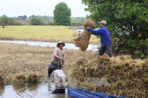 Delta farmers earn high profits from clean shrimp-rice cultivation model